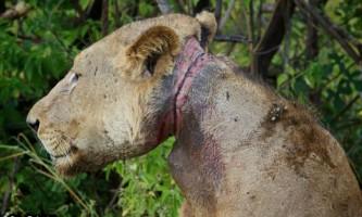 У танзанії леви три роки годували родича, який потрапив в капкан