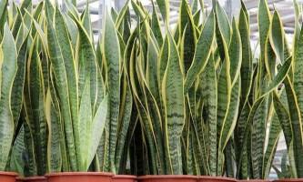 10 Смертельно небезпечні для здоров`я кімнатних рослин