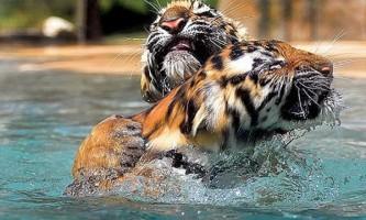 14 Лютого настане рік тигра