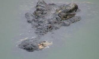 15 Тисяч крокодилів втекли c африканської ферми в річку лімпопо