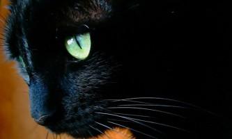 17 Листопада - день чорних кішок