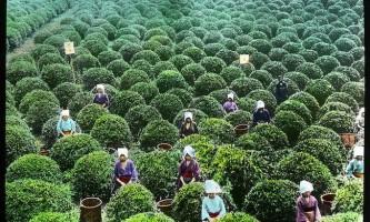 Як вирощують зелений чай на японських плантаціях