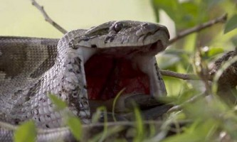 2,5-Метрова змія цілком проковтнула молоду антилопу
