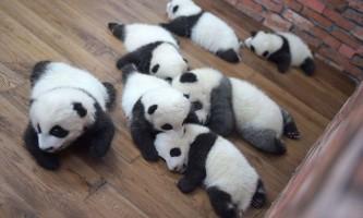 23 Бамбукових ведмедика з китайського дитячого садка для панд