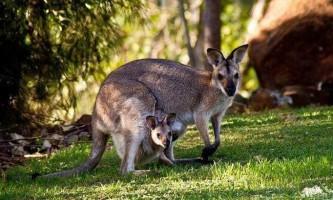 25 Цікавих фактів про кенгуру