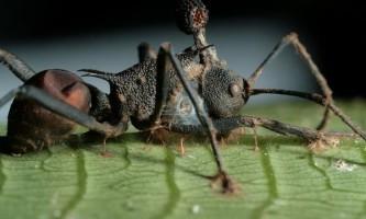 Амазонські мурахи плетуть мережу для лову великої здобичі