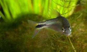 Американські рибки приносять одноплемінників в жертву хижакам