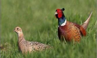 7 Кращих порід фазанів