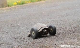 90-Літньої черепасі пришили колеса замість втрачених лап