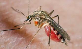 А навіщо комару кров?
