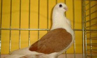 Аахенських чайки з лаковими щитками (голуби)