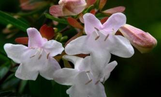 Абелія крупноквіткова - abelia x grandiflora