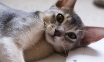 Абиссинская кішка: фото і опис породи