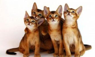 Абиссинская кішка - характер і особливості породи кращого друга з котячих