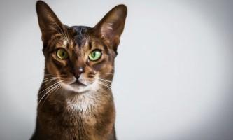 Абиссинская порода кішок: особливості характеру