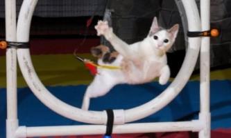 Аджилити для кішок