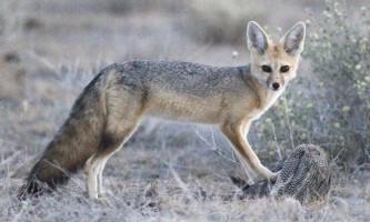 Афганська лисиця - невеликий звірок з пухнастими вухами і хвостом