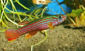 Афиосемиона стриатум - райдужна рибка з чудернацькою назвою