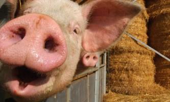 Африканська чума свиней