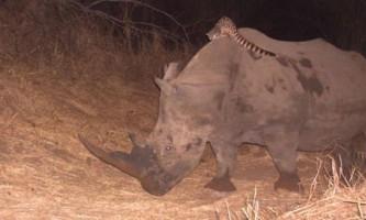 Африканська генетта прокотилася верхи на чорному носорога