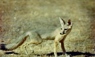 Африканська лисиця - найменш вивчена представниця сімейства собачих