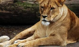 Африканська левиця розтерзала 29-річну американку