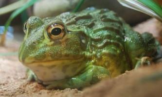 Африканська риюча жаба - чим живе амфібія?