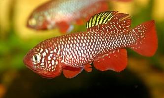 Африканські риби досягають статевої зрілості в рекордні терміни
