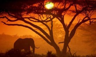 Африканські слони втратили чверть своєї популяції