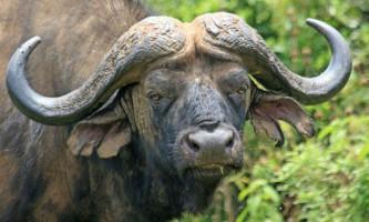 Африканський буйвол