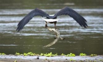 Африканський рибний орел пообідав нільським крокодилом