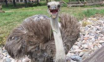 Африканський страус (лат. Struthio camelus)