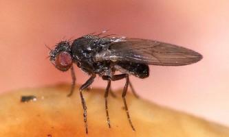 Агресією мух-дрозофіл керують запахи