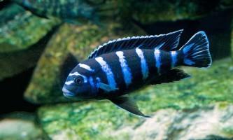 Агресивна демасон - рибка з характером