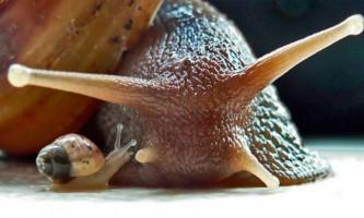 Ахатини - великі ручні равлики