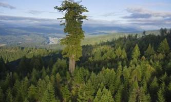 Найвищі дерева в сша