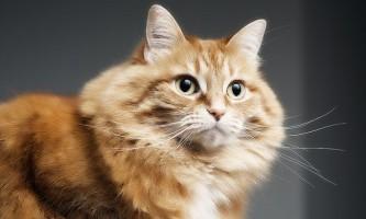 Акне у кішок