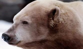 Акнук - білий або бурий ведмідь?