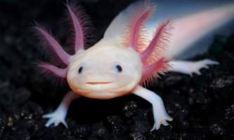 Аксолотль - личинка амбістоми. Фото, опис