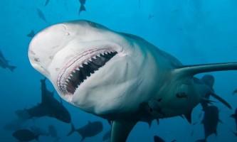Акула-бик (акула-бик) - універсальний підводний вбивця