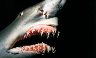 Акула-гоблін. Фото і відео підводного будинкового