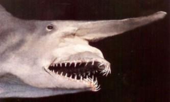 Акула-гоблін або скапанорінх (mitsukurina owstoni)
