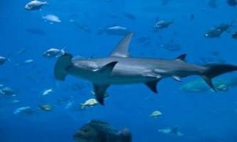 Акула-молот, можливо, самий окатий представник тваринного світу