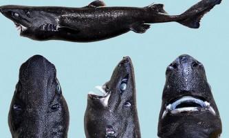 Акула - ніндзя (лат. Etmopterus benchleyi)