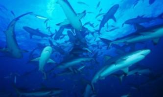 Акулам загрожує зникнення з вини людини