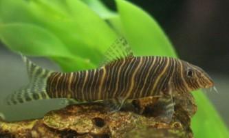 Акваріумні рибки боціі