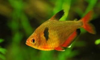 Акваріумний мінор - що за рибка?