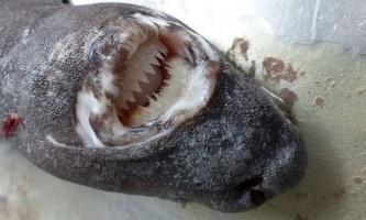 Альбатроса, цілком що проковтнув акулу, помістили в музей