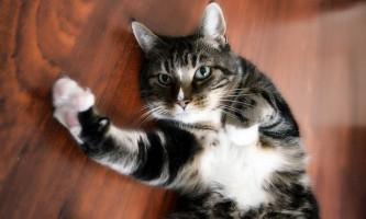 Алергія на кішку