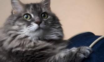 Алергія у кішок: фото, симптоми і лікування